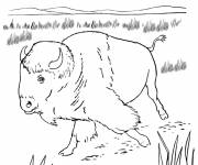Coloring pages A Bison walking in the field