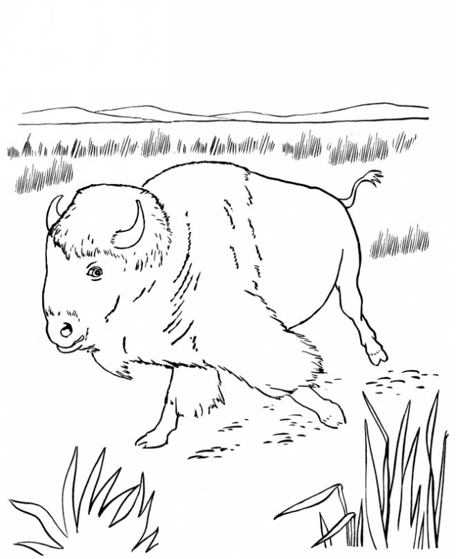 Free coloring and drawings A Bison walking in the field Coloring page