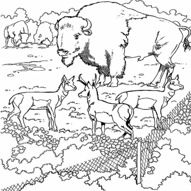 Free coloring and drawings A gigantic bison in a zoo Coloring page