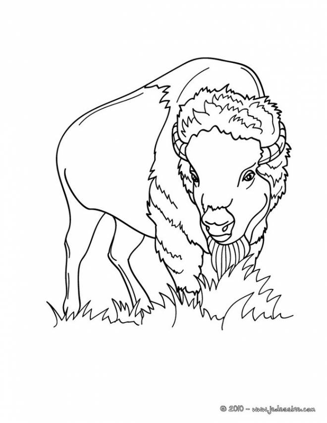 Free coloring and drawings American bison Coloring page