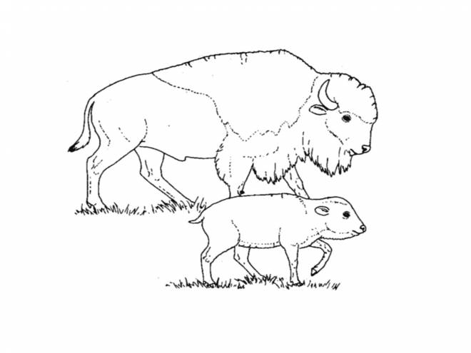 Free coloring and drawings Bison and her cub Coloring page