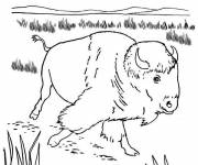 Coloring pages Bison is walking