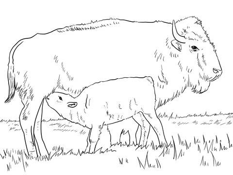 Free coloring and drawings Buffalo calf with its mother Coloring page