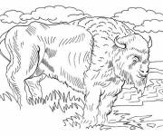 Free coloring and drawings North American bison Coloring page
