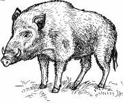 Free coloring and drawings Boar for free Coloring page
