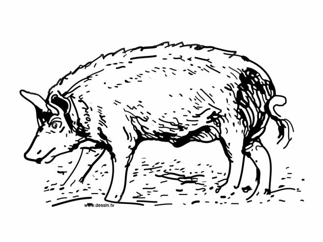 Free coloring and drawings Coloring boar  Coloring page