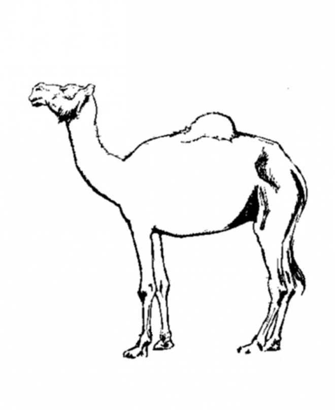 Free coloring and drawings A dromedary desert boat Coloring page