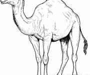 Coloring pages Camel in pencil