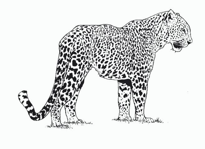 Free coloring and drawings African cheetah Coloring page