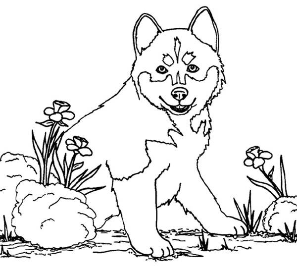 Free coloring and drawings Dog wolf Coloring page
