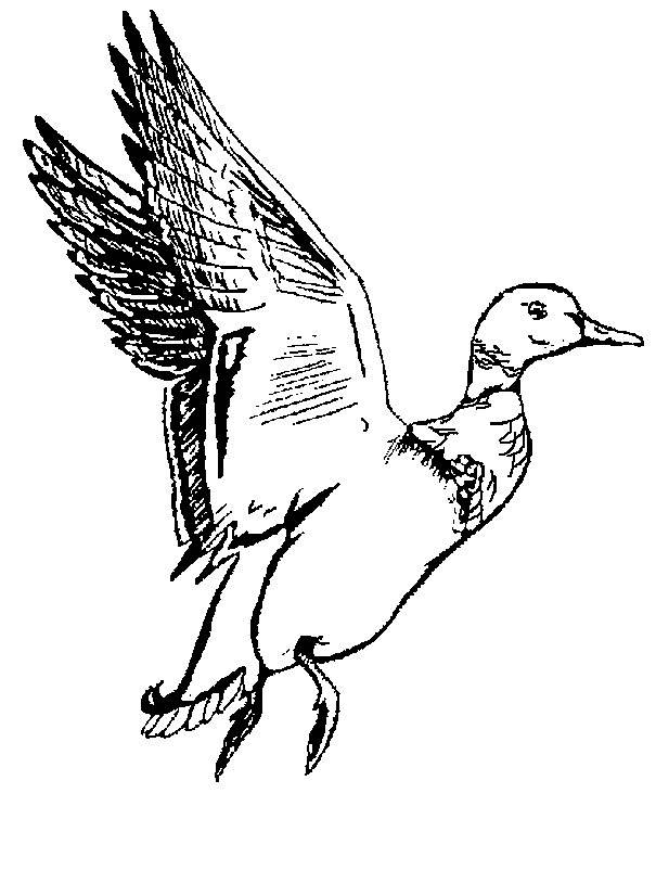 Free coloring and drawings A duck that will fly Coloring page