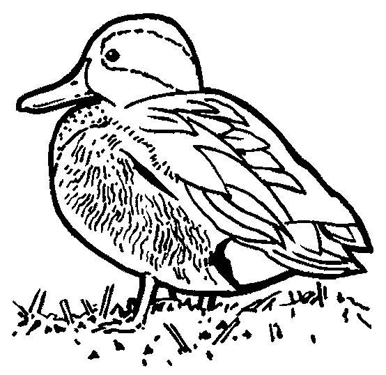 Free coloring and drawings A little duck Coloring page
