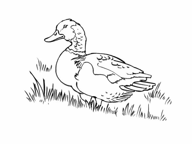 Free coloring and drawings Duck for child Coloring page