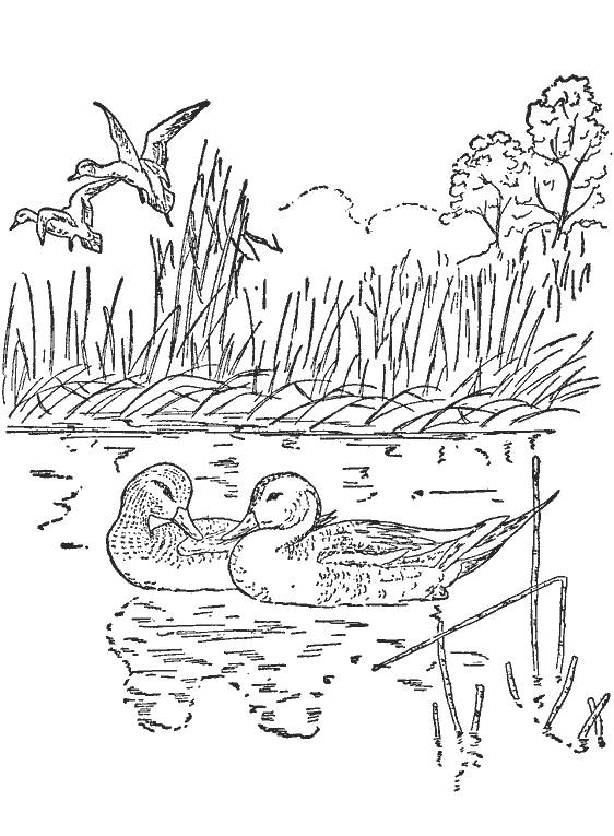 Free coloring and drawings Ducks and the companion Coloring page