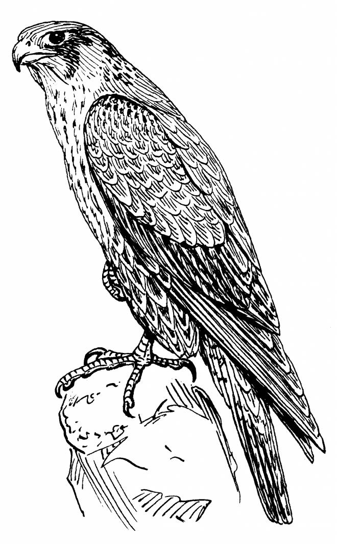 Free printable Falcon coloring pages