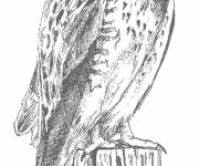 Coloring pages Realistic hawk