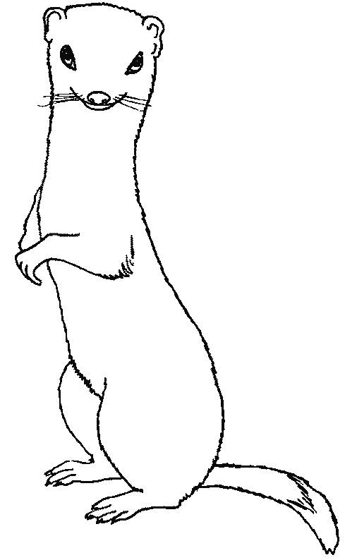 Free coloring and drawings Ferret easy Coloring page