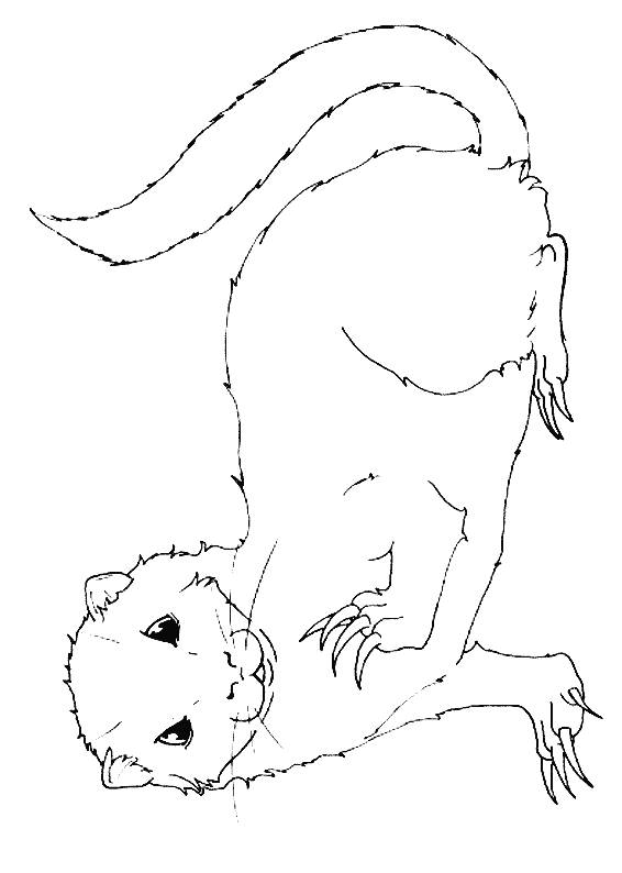 Free coloring and drawings Pigmented ferret Coloring page
