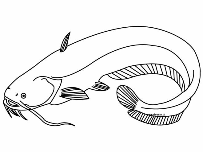 Free coloring and drawings Salmon Fish Coloring page