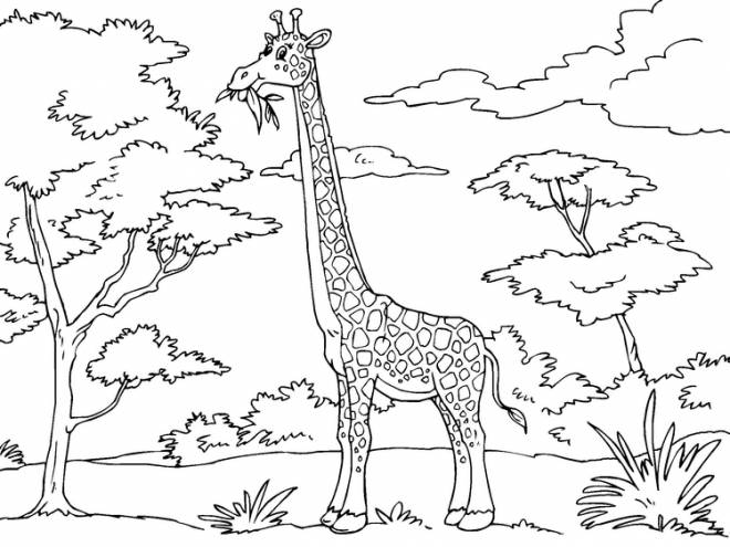 Free coloring and drawings Giraffe eats from tree Coloring page