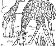 Coloring pages Giraffes eating