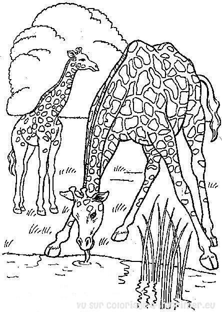 Free coloring and drawings Giraffes eating Coloring page