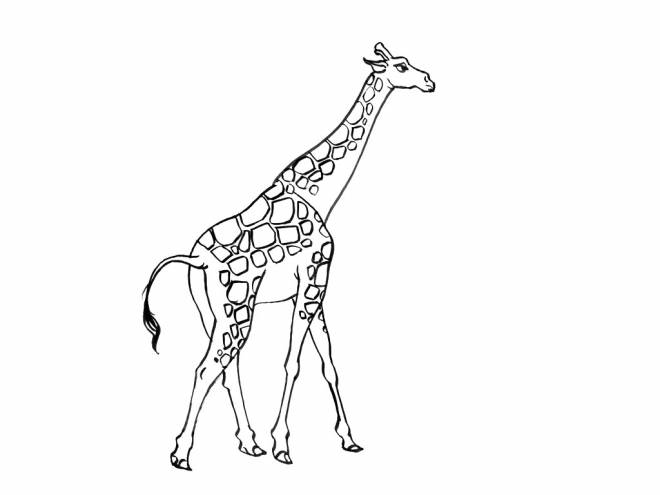 Free coloring and drawings Long giraffe Coloring page