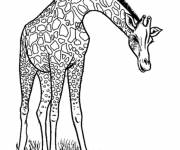 Free coloring and drawings Maternal giraffe Coloring page