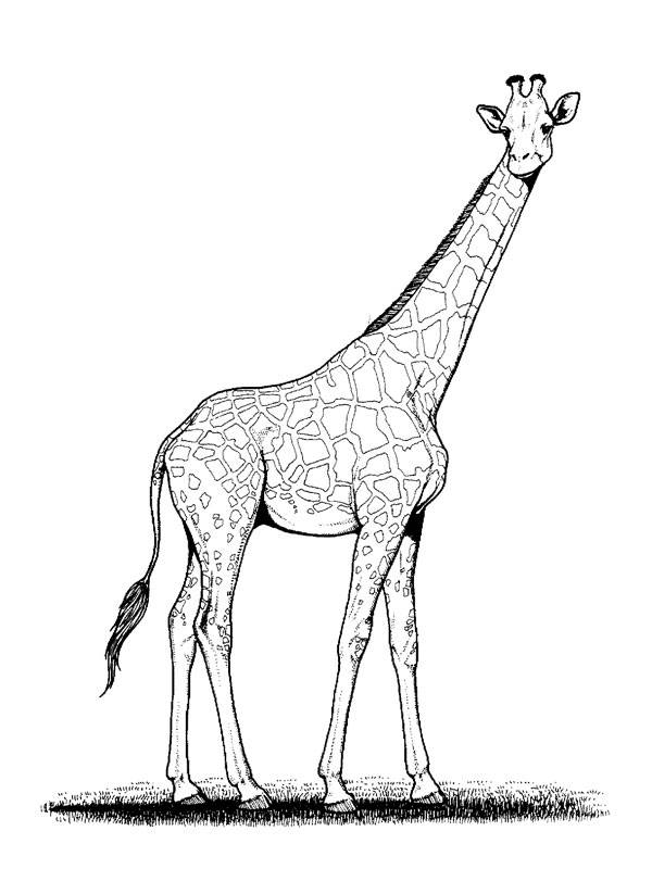 Free coloring and drawings Pencil giraffe Coloring page