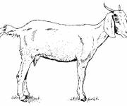 Free coloring and drawings Goat in pencil Coloring page