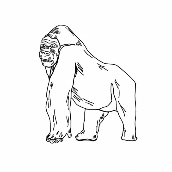 Free coloring and drawings Gorilla easy Coloring page