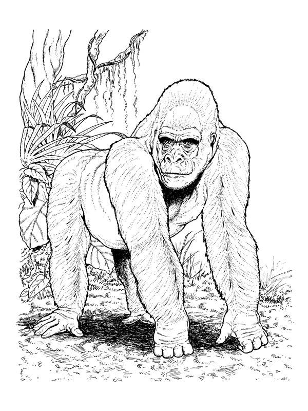 Free coloring and drawings Realistic gorilla Coloring page