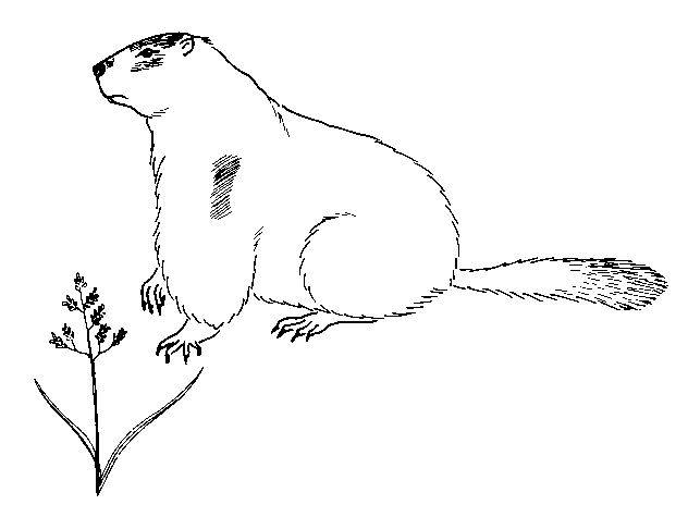 Free coloring and drawings Easy groundhog Coloring page