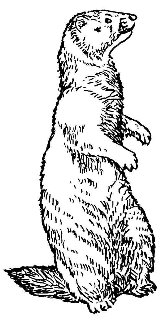Free coloring and drawings Groundhog in pencil Coloring page