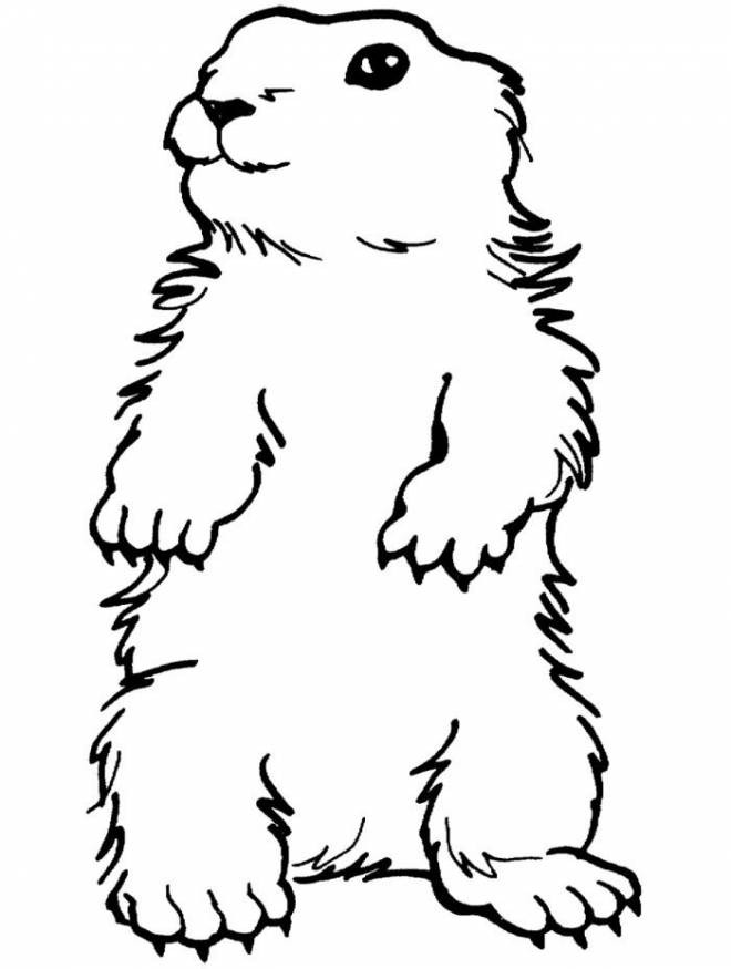 Free coloring and drawings Marmot portrait Coloring page