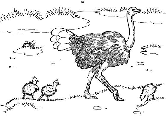 Free coloring and drawings Ostrich and its young Coloring page