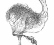 Coloring pages Ostrich in black pencil
