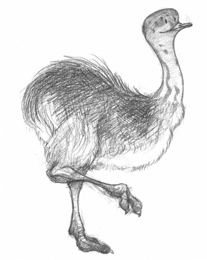 Free coloring and drawings Ostrich in black pencil Coloring page