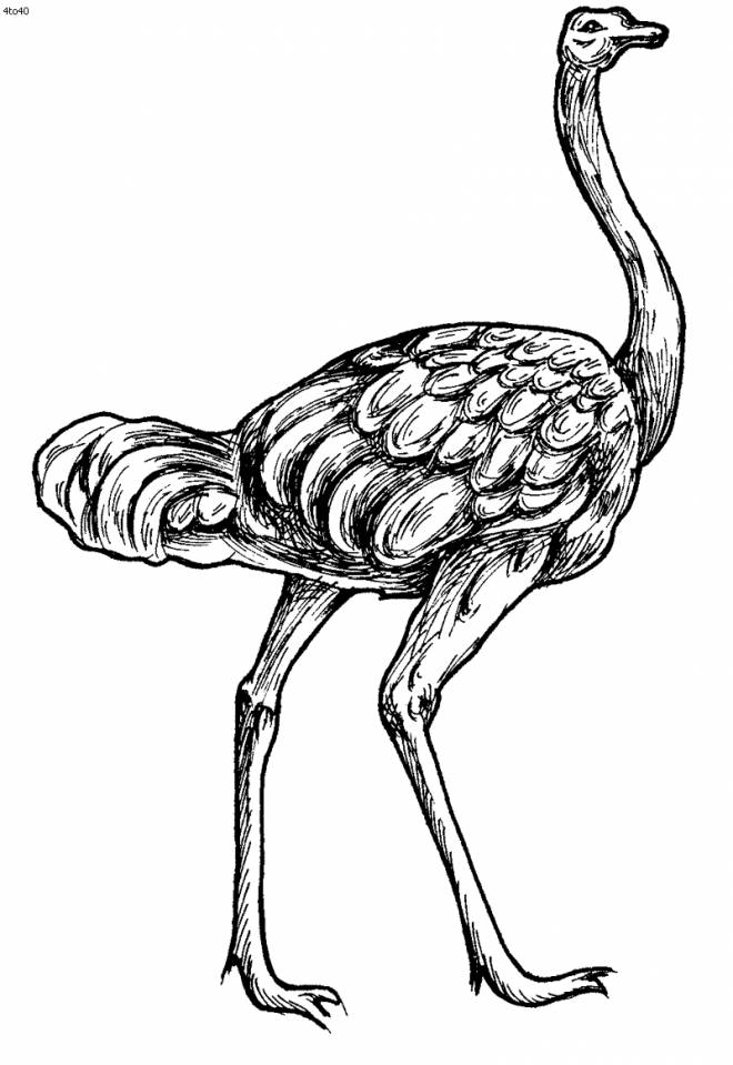 Free coloring and drawings Ostrich in fantastic pencil Coloring page