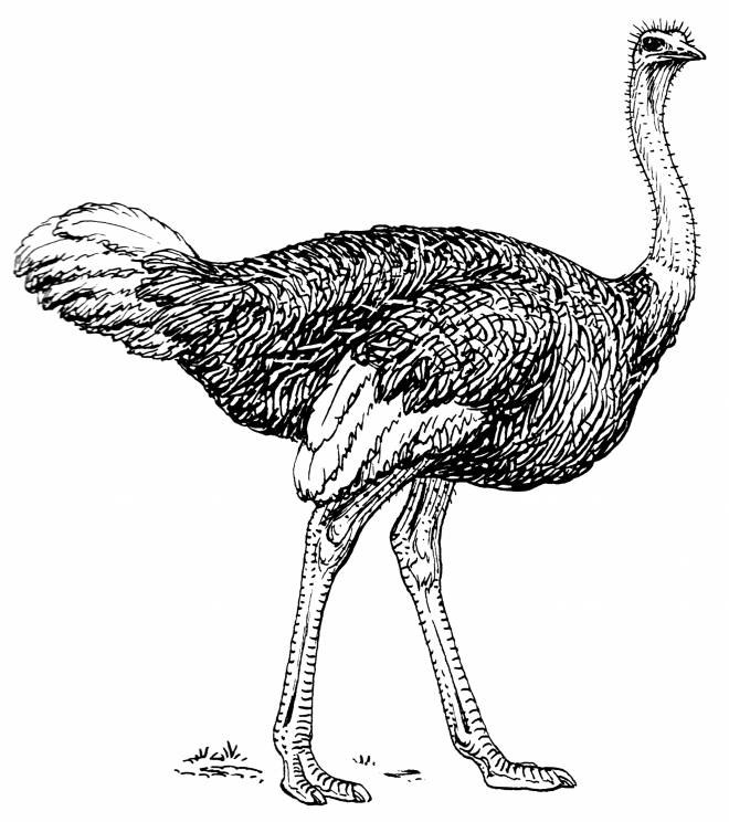 Free coloring and drawings Ostrich in pencil Coloring page