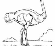 Coloring pages Pretty image ostrich