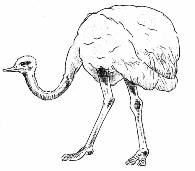 Free coloring and drawings Pretty ostrich Coloring page