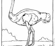 Free coloring and drawings Realistic ostrich Coloring page