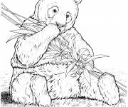 Coloring pages Realistic panda