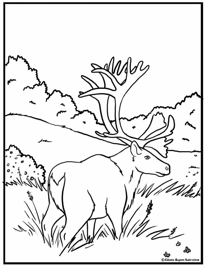 Free coloring and drawings American Reindeer Coloring page