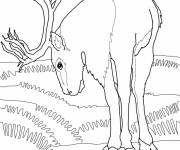 Coloring pages Caribou eating