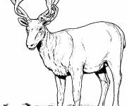 Free coloring and drawings Realistic Reindeer  Coloring page