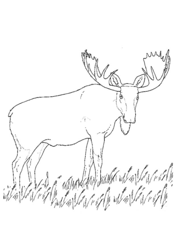 Free coloring and drawings Reindeer in the wild Coloring page