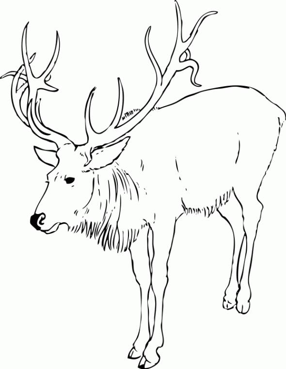 Free coloring and drawings Reindeer online Coloring page