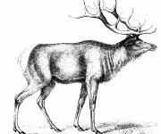 Coloring pages Reindeer realistic image